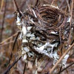Birch Birdsnest